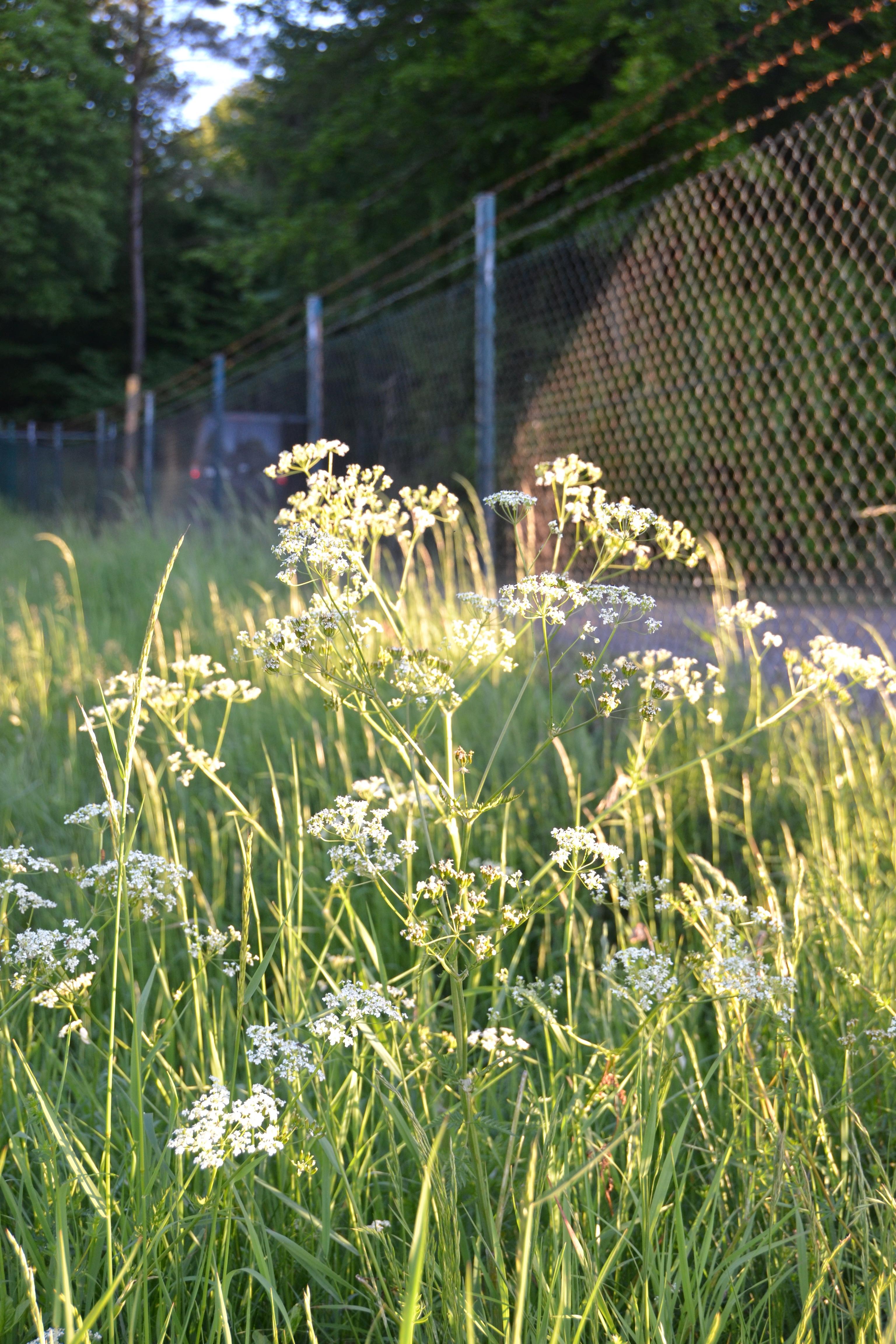 Im Vordergrund sind weiße Blütendolden und Gräser im morgendlichen Sonnenlicht - im schattigen Hintergrund der hohe Sicherheitszaun und das Heck eines dahinter patrouillierenden Militärfahrzeugs.