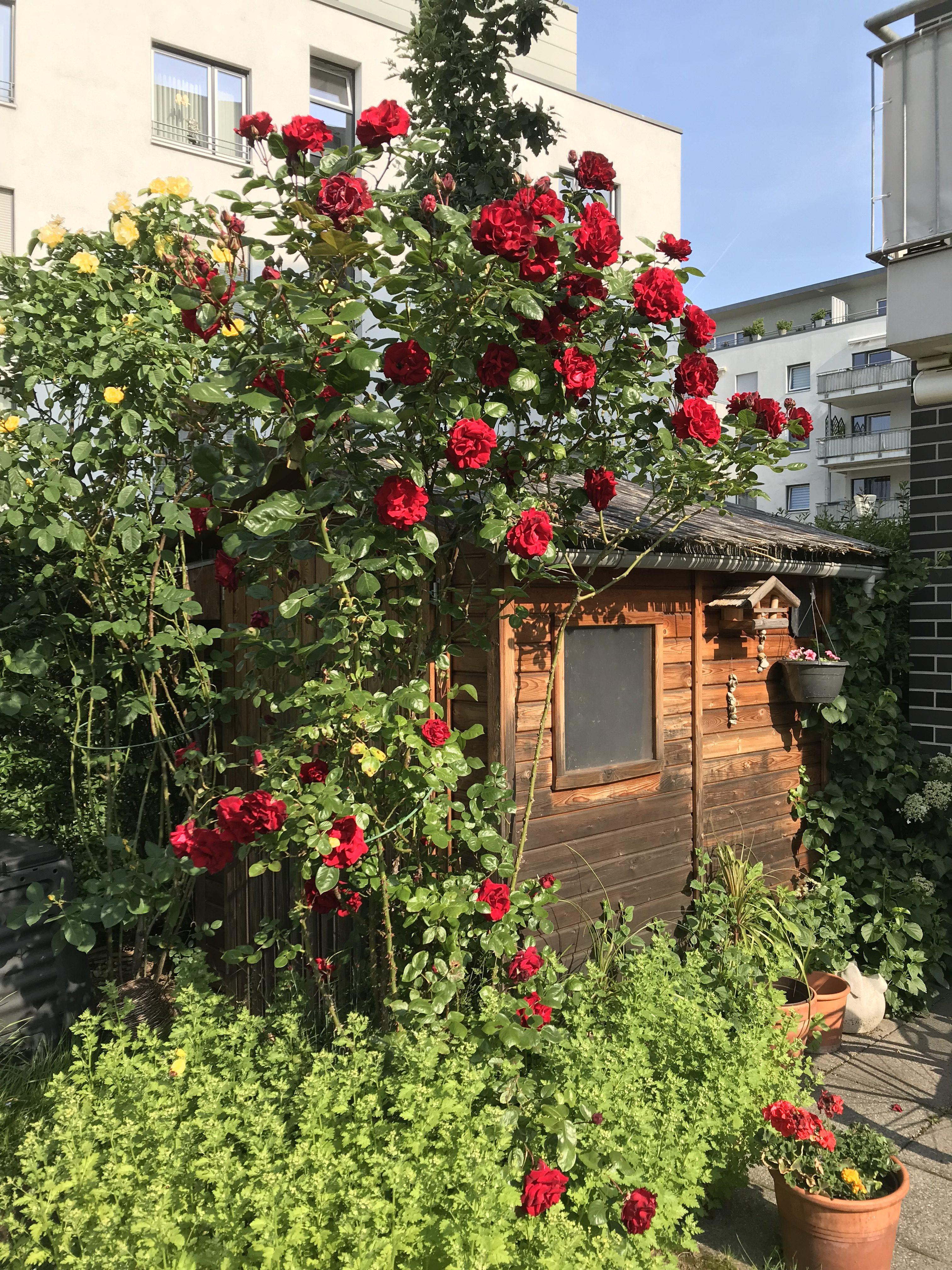 Ein mit roten und gelben Rosen überwuchertes Gartenhäuschen zwischen hohen modernen Mehrfamilienhäusern.